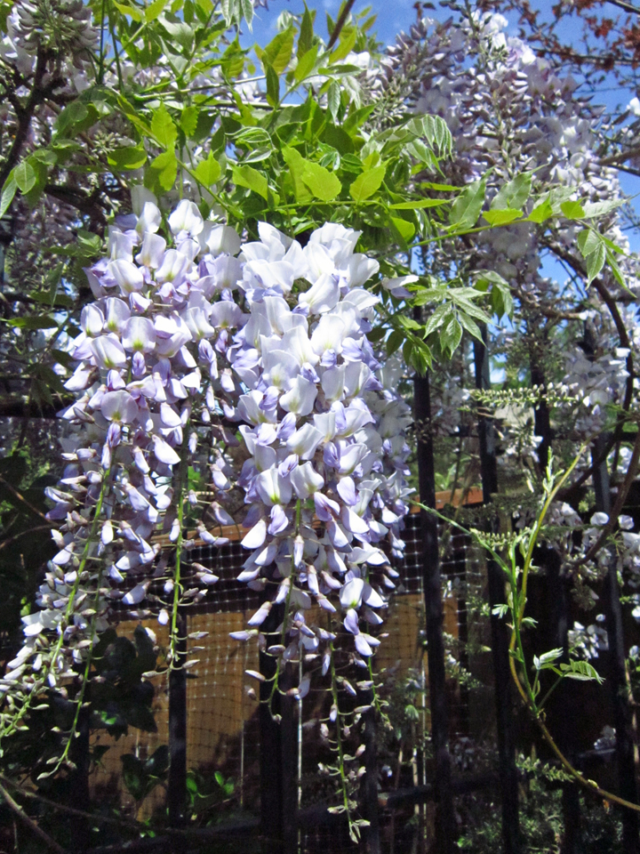 My Blooming Wisteria RS